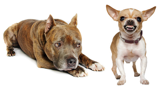 Small Dogs For Novice Owners